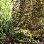 Kauri Growth