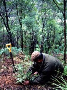 Kauri Planting