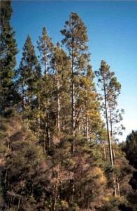 Kauri Trees Gallery